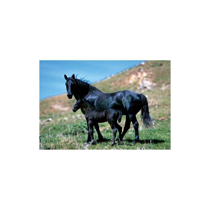 10133. Puzzle Trefl 1000 piezas Caballo negro